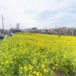 川和町駅の菜の花が見頃です